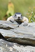 Alpine Marmot (Marmota marmota) on a rock,Pyrenees, France