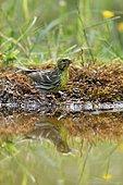 European serin (Serinus serinus) drinking at the edge of a pond, France