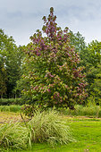 Maple tree (Acer sp) in a garden in autumn, Chantilly, Oise, Picardie, France