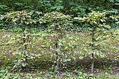 Hornbeam hedge (Carpinus betulus) in autumn, Oise, Picardy, France