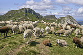 Creation in the spring of 2021 of a collective sheep pasture; six breeders from the surrounding valleys have grouped their livestock (about six hundred head) under the care of two shepherds housed in a hut built to ecological standards especially for the spring of 2021 in order to reduce the damage caused by wolf predation, and resulting in the presence of about fifty griffon vultures every summer, Grand site du Puy Mary, Cantal, Parc Naturel Régional des Volcans d'Auvergne, France