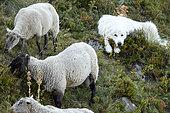 Patou watching his sheep in the valley of Saint-Paul de Salers, Parc naturel des Volcans d'Auvergne, France