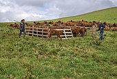Troupeau et eunes vaches de race Salers dans un enclos, Parc naturel des volcans d'Auvergne, France