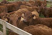 Jeunes vaches de race Salers dans un enclos, Parc naturel des volcans d'Auvergne, France