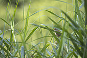 Reed Warbler (Acrocephalus scirpaceus) in song in reedbed, Alsace, France