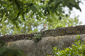 Hoopoe(Upupa epops) perched on a wall, Arles, Provence, France
