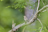Song Thrush (Turdus philomelos) on a branch, Alsace, France