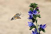 Olive Bee Hawk-moth (Macroglossum stellatarum) hovering in front of vipersbugloss flowers, France