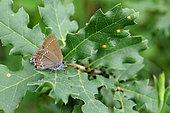 Ilex hairstreak (Satyrium ilicis) on oak's leaves, France