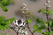 Marbled White (Melanargia galathea) on flowers, France