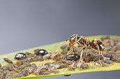 Black Garden Ant (lasius niger) milking aphids, Alsace, France
