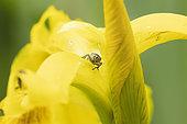 Iris Seed Weevil (Mononychus pseudacori) on flower of Paleyellow iris (Iris pseudacorus), Alsace, France