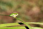 Tree frog (Hyla arborea) on a reed leaf, Cotentin Marshes Regional Park, Normandy, France