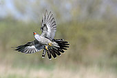 Cuckoo (Cuculus canorus) in flight, Breton marsh, Vendée, France