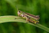 Large marsh grasshopper (Stethophyma grossum) on a reed leaf, Aiguillon Bay National Nature Reserve, Vendée, France