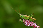 Long-winged Conehead (Conocephalus fuscus) on heather flowers, Lande de Lessay, Manche, Noramndie, France