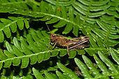 Woodland grasshopper (Omocestus rufipes) on fern, Mont Saint-Michel Bay, Manche, Normandy, France
