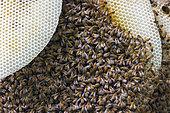Bee honeycomb (Apis mellifera), England