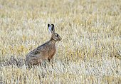 Brown hare (Lepus europaeus) standing amongst stubbles, England