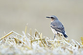 Wheatear (Oenanthe oenanthe) perched on a straw bale, England