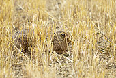 Brown hare (Lepus europaeus) laying amongst stubbles, England