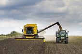 Combine harvester harvesting Field beans (Vicia faba), England