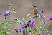 Kingfisher (Alcedo atthis) perched on a branch amongst flowers, England