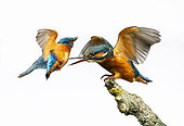 Kingfisher (Alcedo atthis) perched on a branch and displaying, England