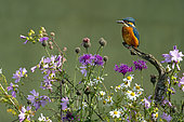 Kingfisher (Alcedo atthis) perched amongst wild flowers, England