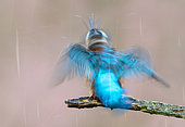 Kingfisher (Alcedo atthis) perched on a branch and shaking itself, England