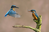 Kingfisher (Alcedo atthis) male hovering in front of female, England
