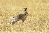 Brown hare (Lepus europaeus) stretching amongst stubbles, England