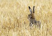 Brown hare (Lepus europaeus) amongst stubbles, England