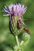 Plant bug (Lygus pratensis) on Field thistle (Cirsium arvense), Gers, France