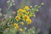 False yellowhead (Dittrichia viscosa) in bloom, Gard, France