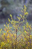 Odontites (Odontites luteus) in bloom, Gard, France