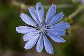 Minute black scavenger flies (Scatopsidae sp.) on Common chicory (Cichorium intybus) flower, Gard, France