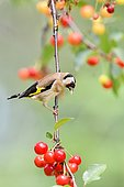 European Goldfinch (Carduelis carduelis) side view of an adult perched on a branch of cherry, France