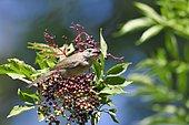 Blackcap (Sylvia atricapilla) female eating berries Elderberry, France