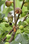 Blackcap (Sylvia atricapilla) female in a common fig tree, France