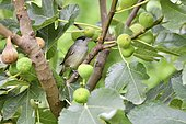 Blackcap (Sylvia atricapilla) male in a common fig tree, France
