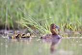 Female Common pochard (Aythya ferina) swimming with its youngs, France