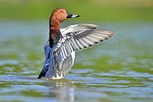 Comon Pochard (Aythya ferina) male snorting on water, Dombes, France