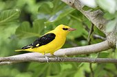 Eurasian Golden Oriole (Oriolus oriolus) perched in fig tree, France