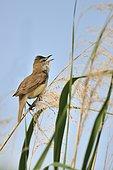 Great Reed Warbler (Acrocephalus arundinaceus) singing on a reed, France