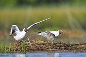 Black-headed gulls (Chroicocephalus ridibundus) with young, France