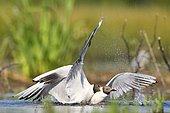 Black headed gull (Chroicocephalus ridibundus) fighting for a piece of food, France