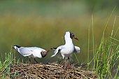 Courtship of Laughing gulls (Chroicocephalus ridibundus), France