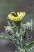 Leaf beetle (Cryptocephalus sp) on Andryala (Andryala integrifolia), Ardeche, France