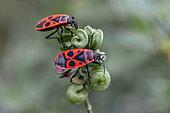 Fire bug (Pyrrhocoris apterus), brachypterous form, on alfalfa (Medicago sp.), Vaucluse, France